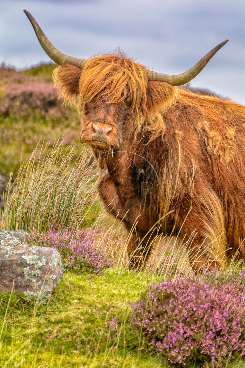 Lord of the Highlands | Herr des Hochlands | Highlands | Scotland | Watching and photographing the shaggy-looking Highland cattles is a truly fascinating experience | Landschafts- & Naturfotografie | Landscape & Nature Photography