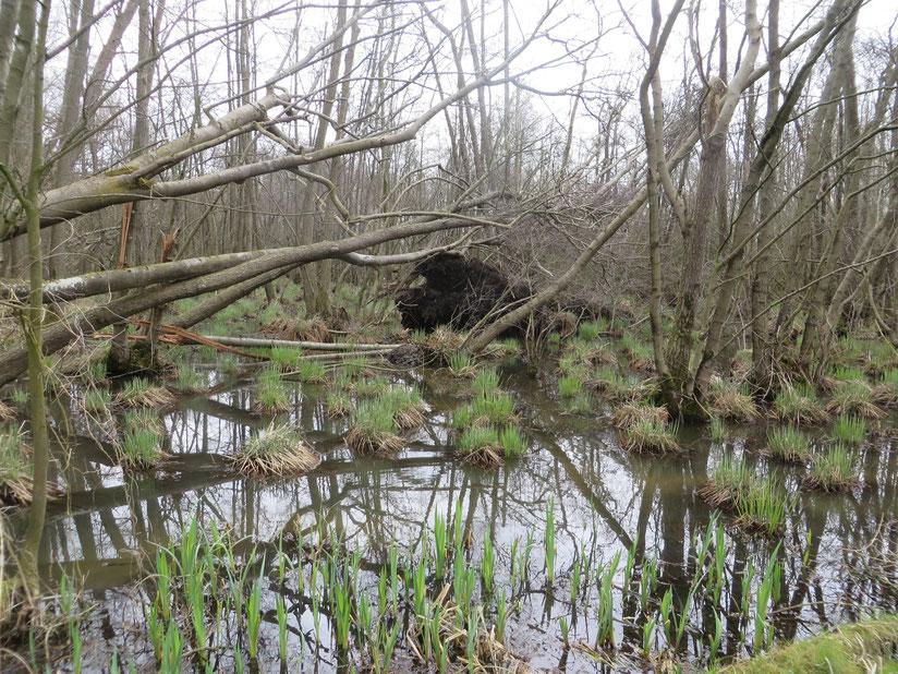 Ontwortelde Zwarte elzen in het Adderbroek. In het wortelgat ontstaan diepere poeltjes, waar Waterviolier een kans krijgt.