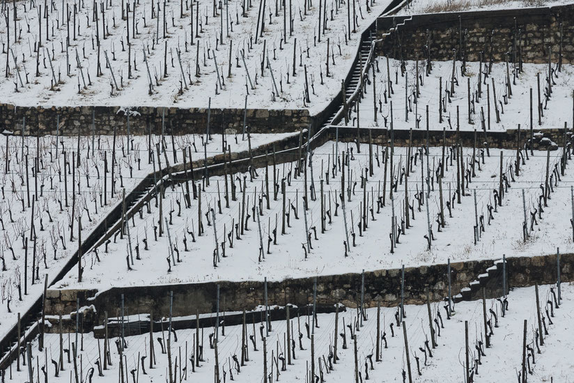 Vineyard in Winter, Rebberg im Winter, Twann, Bielersee