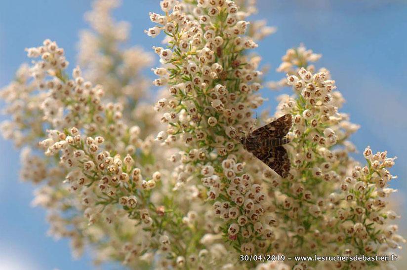 papillon sur Erica arborea, Cévennes