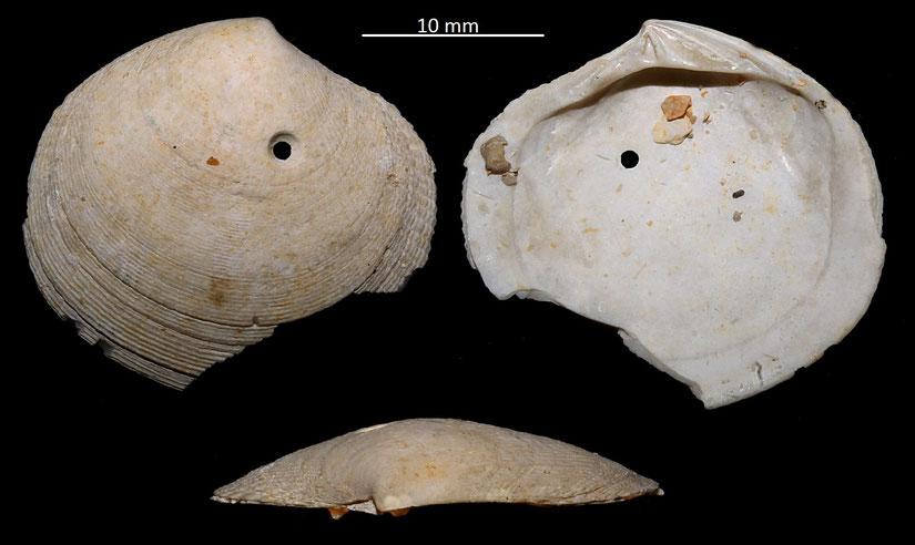 Codakia leonina, Miocene dell'Aquitania, incompleta, con foro di predazione