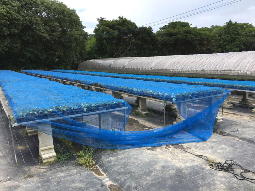 台風の時は苗が飛ばない様にネットをかけました