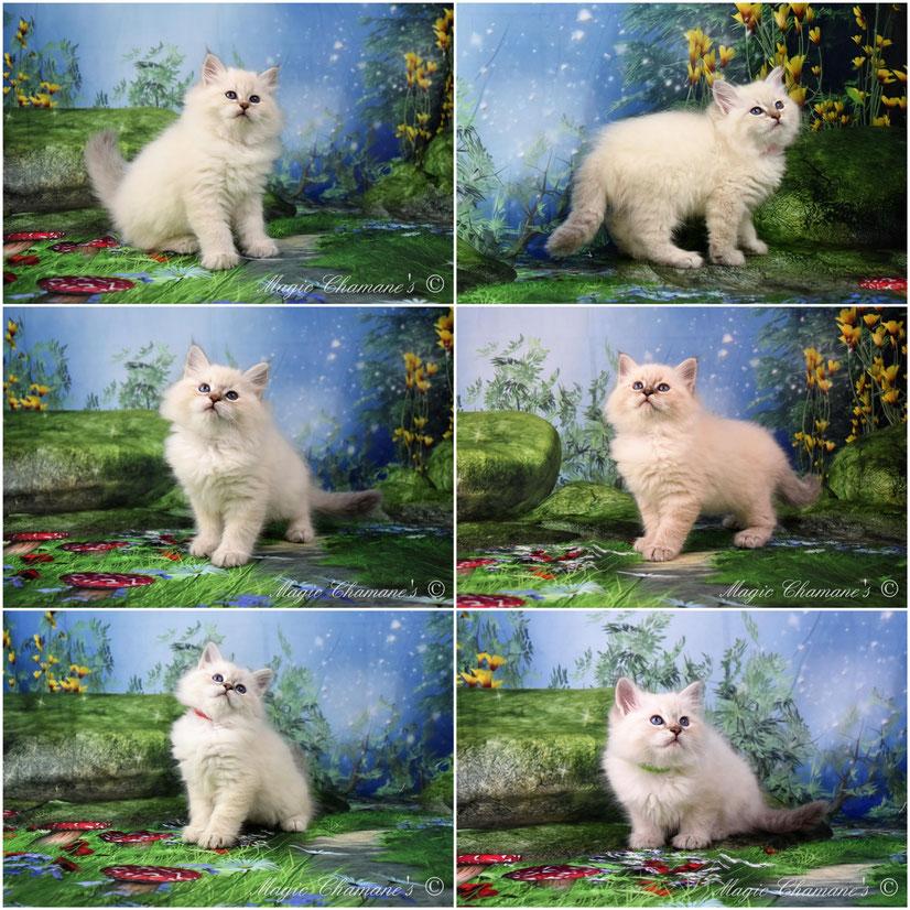 chaton siberien blue tabby point, chaton sibérien blanc