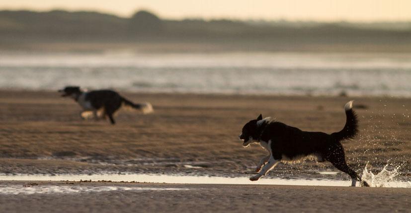 Hunde spiel am Strand in der Normandie