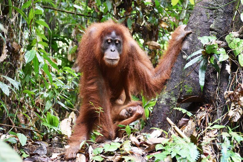 orang-utan-mama-sumatra-frei-lebend