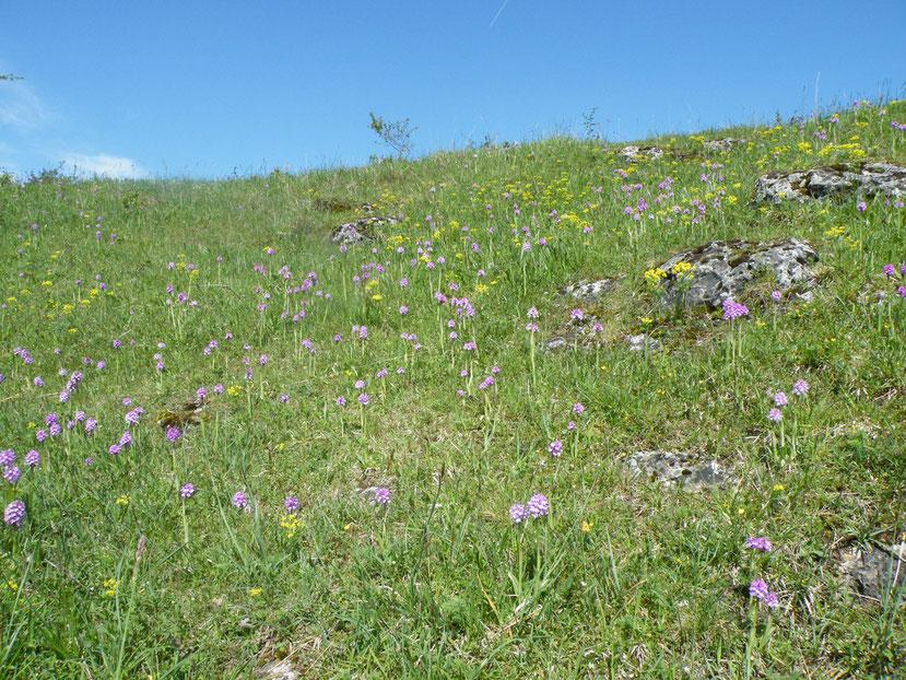 Das Dreizähnige Knabenkraut Neotinea (Orchis) tridentata, aspektbildende Charakterpflanze des Werra-Meißner-Kreises auf vielen Kalkmagerasen
