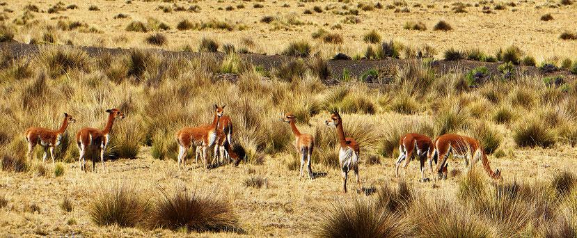 Auf dem Altiplano nach Cerro de Pasco gibt es sehr viele Vicuñas. Sie sind scheu und trotzdem neugierig. Stehen bleiben oder flüchten?