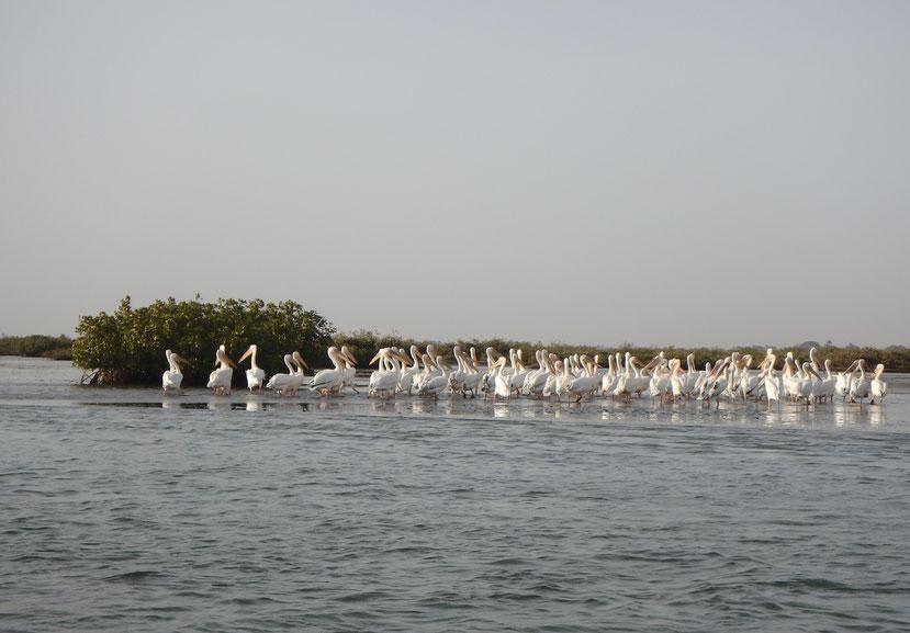 Pelicans Mar Lodj