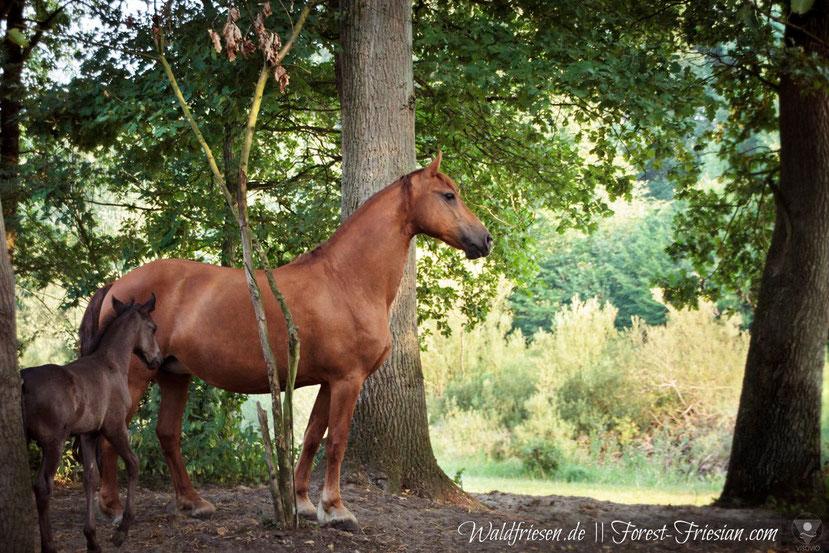 Fuchsfriesenstute Fabella Juli 2018 mit ihren ersten Fohlen Hercules. |www.waldfriesen.de www.forest-friesian.com | fuchsfriesen friese chestnutfriesian|www.waldfriesen.de www.forest-friesian.com | fuchsfriesen friese chestnutfriesian foto www.visovio.de