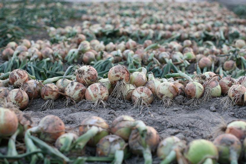 淡路島たまねぎ生産販売農家 ちどり農園 収穫中