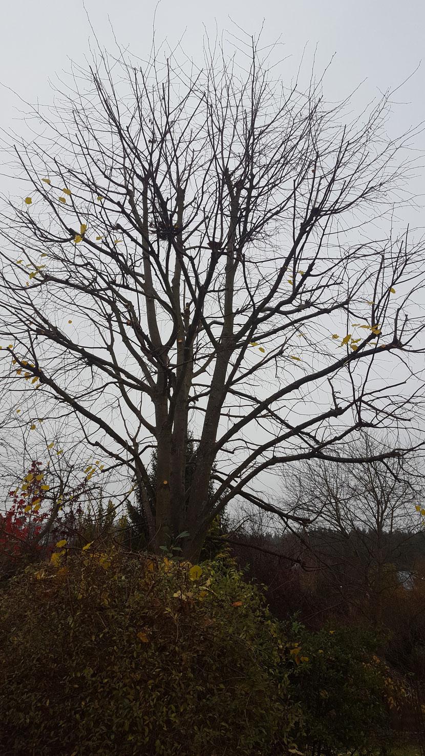 Nachbehandlung Von Kappungen Feyer Baumpfleges Webseite