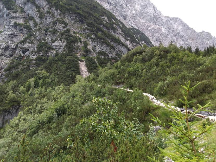 Schafstau auf dem Weg zur Reintalangerhütte