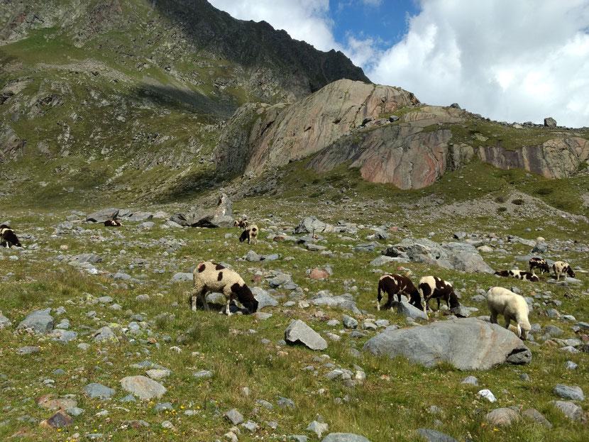 Schafe kurz vor der Sulzenauhütte