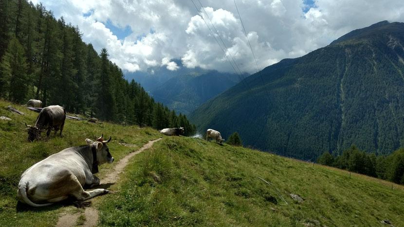 Kühe am Abstieg nach Vernagt