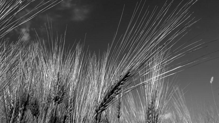 Getreide - Ähre