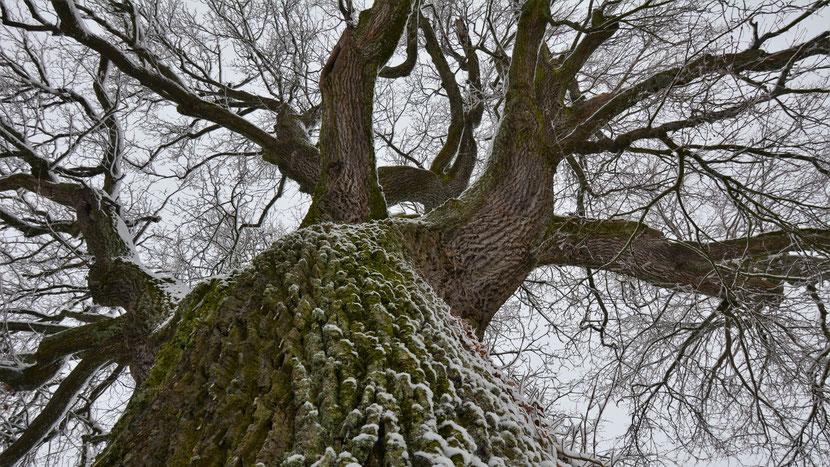 Uetersche Eiche im Schnee