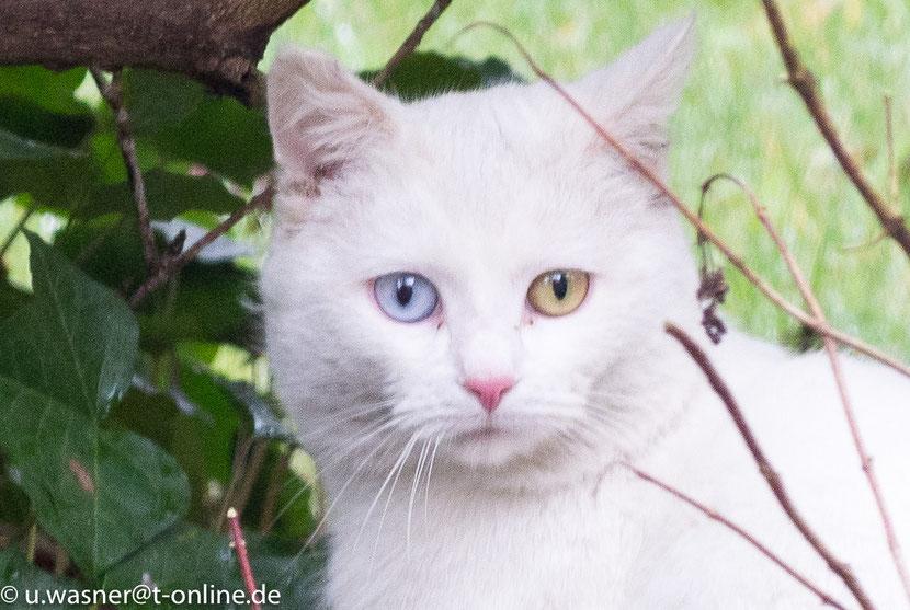 Katze Odd-eyed