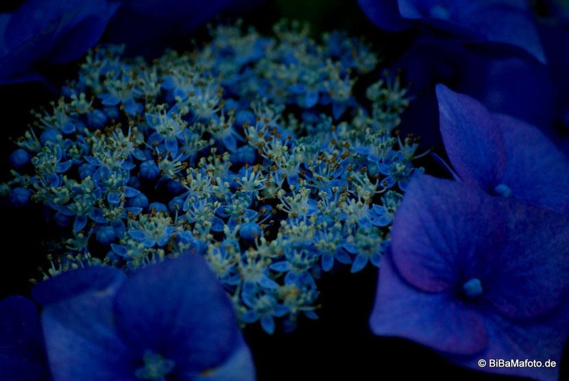 Blaue Blume der Nacht ... geheimnisvoll!