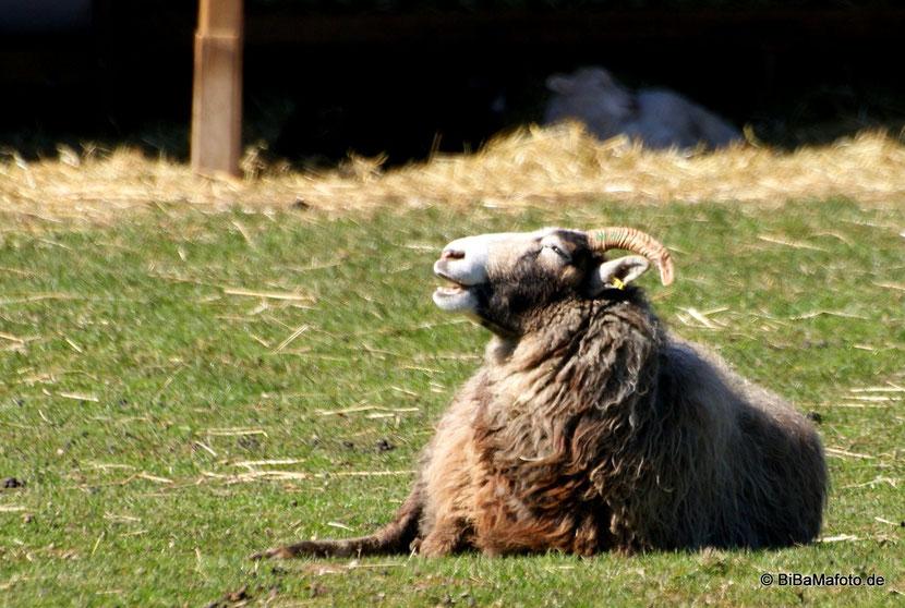Mehr Schafe ... :)
