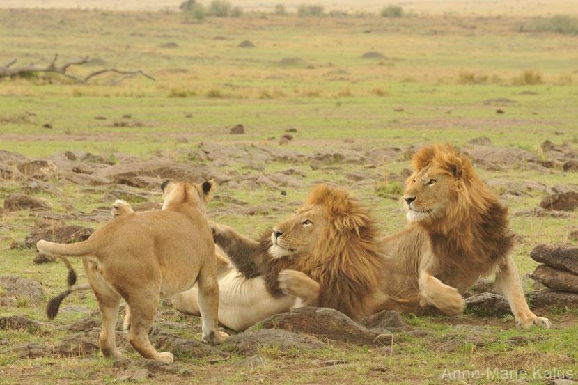 fiche animaux disney lion afrique simba