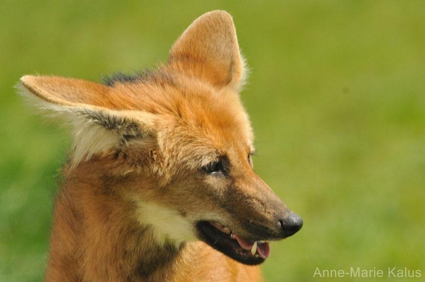 loup a crinière