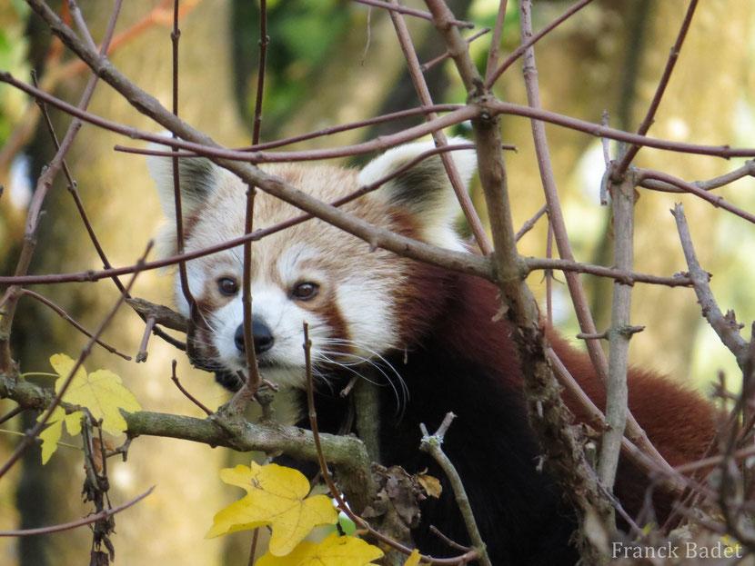 Fiche animaux panda roux