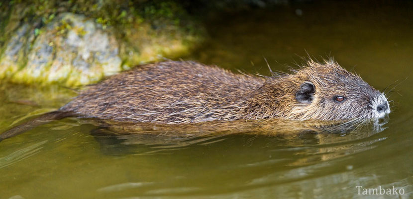 animals factsheet nutria