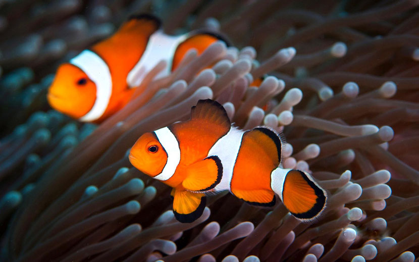 fiche animaux disney poisson clown nemo