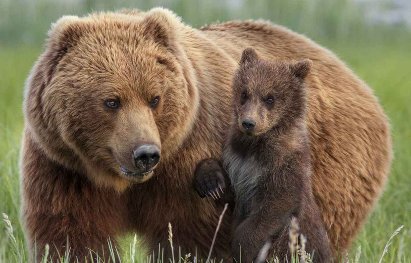 fiche animaux ours brun disney frere des ours