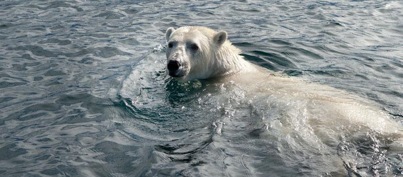 interview mario cyr plongeur cineaste animalier ours blanc