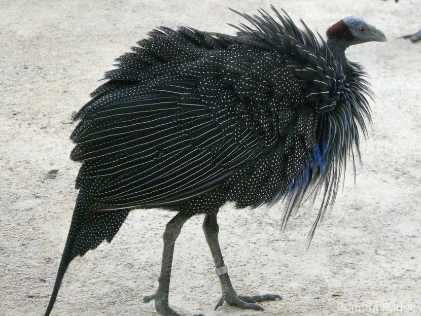 fiche animaux pintade vulturine