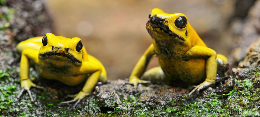 animals factsheet golden poison frog