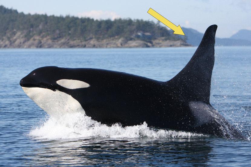 définition nageoire dorsale