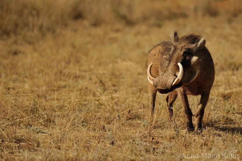 fiche animaux disney phacochere pumba roi lion