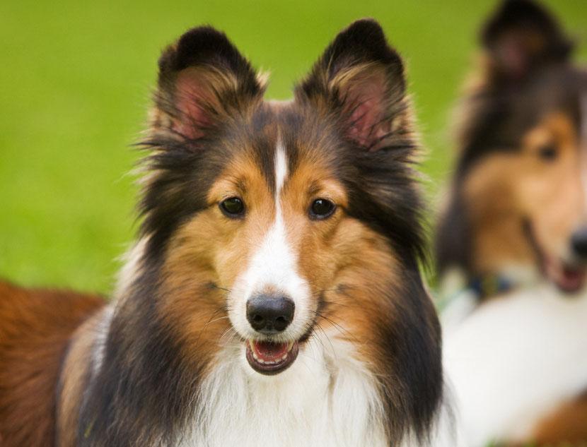 animaux celebre lassie