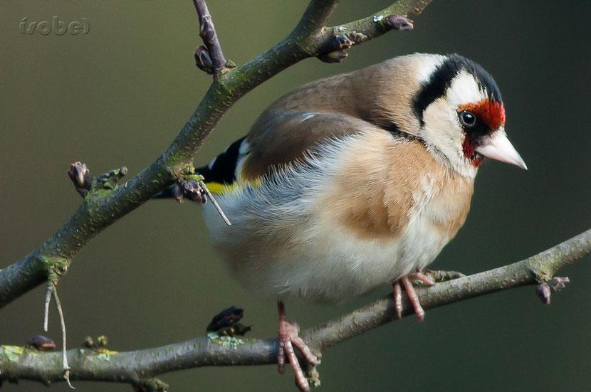 fiche oiseaux chardonneret elegant