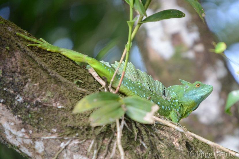 fiches animaux basilic vert