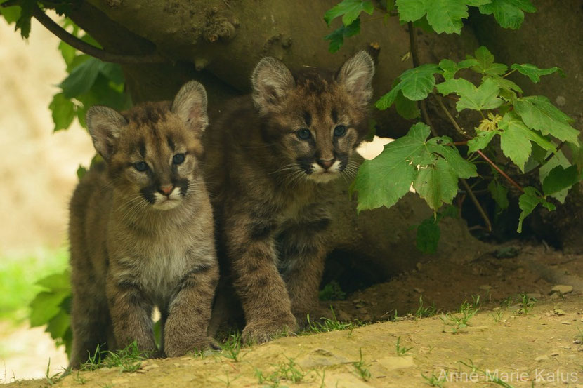 puma ou cougar bebe