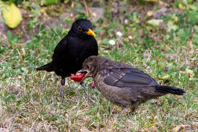 animals factsheet common blackbird
