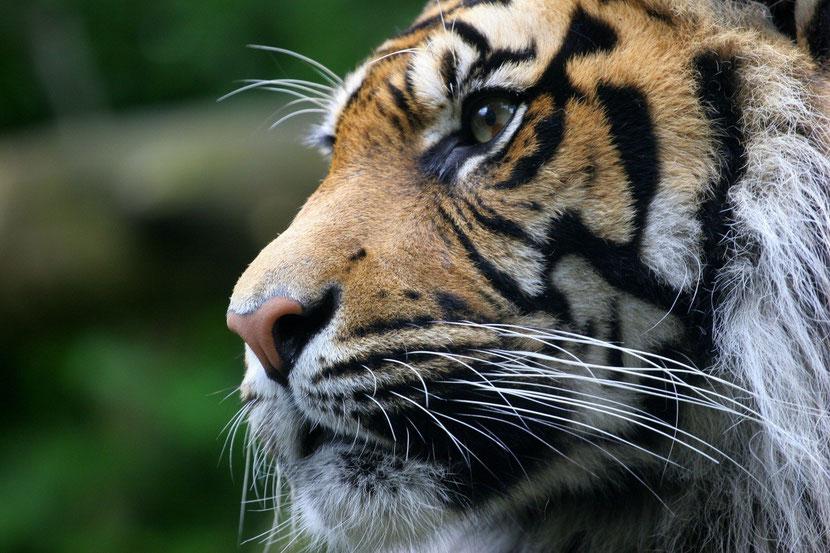 definition vibrisses tigre moustaches