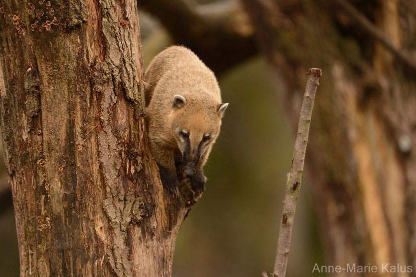 ring tailed coati