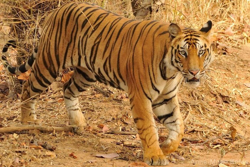 fiche animaux tigre bengale disney livre de la jungle shere khan