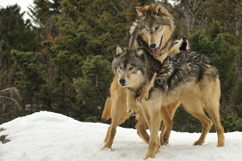loup de l'est