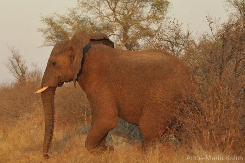afrique elephant
