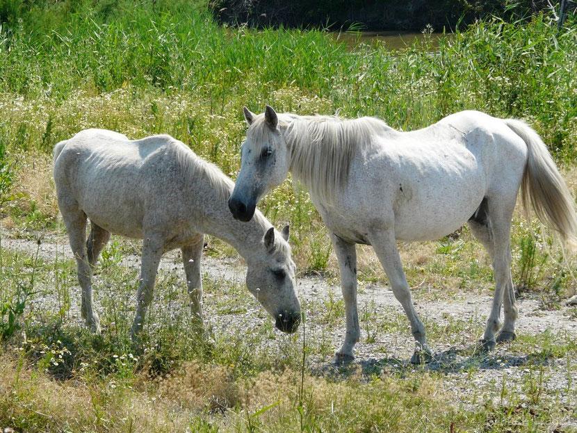 fiche animaux chevaux camargue