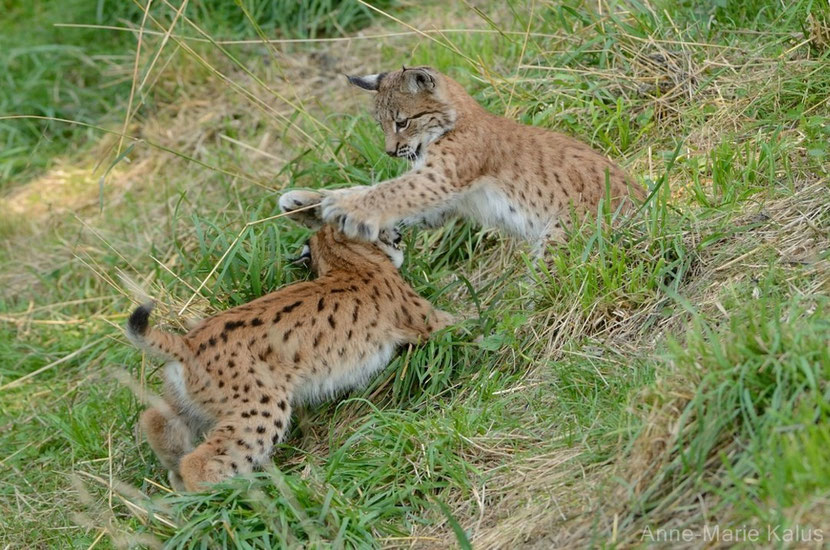 Lynx boreal