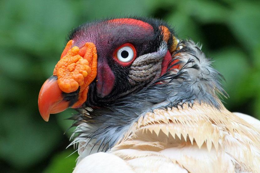 fiche animaux vautour pape