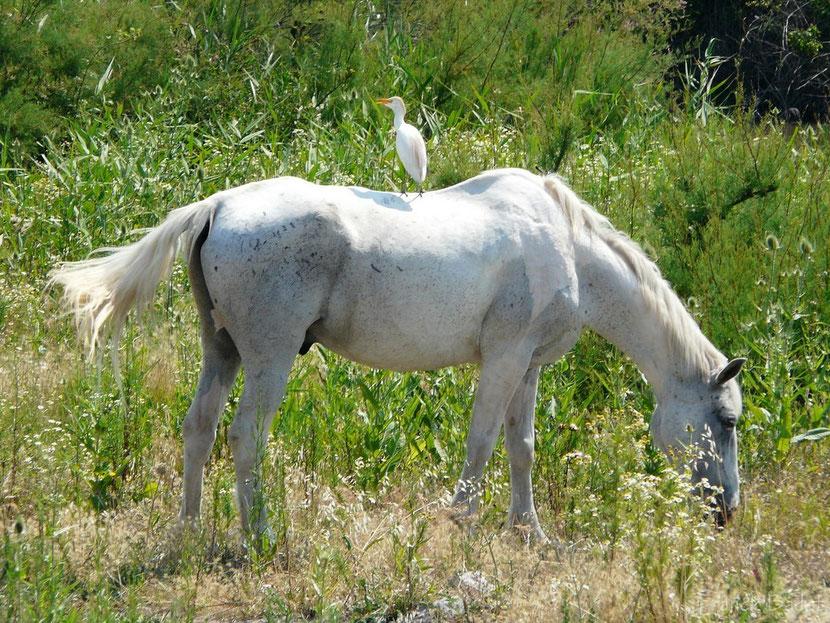 fiche animaux cheval camargue
