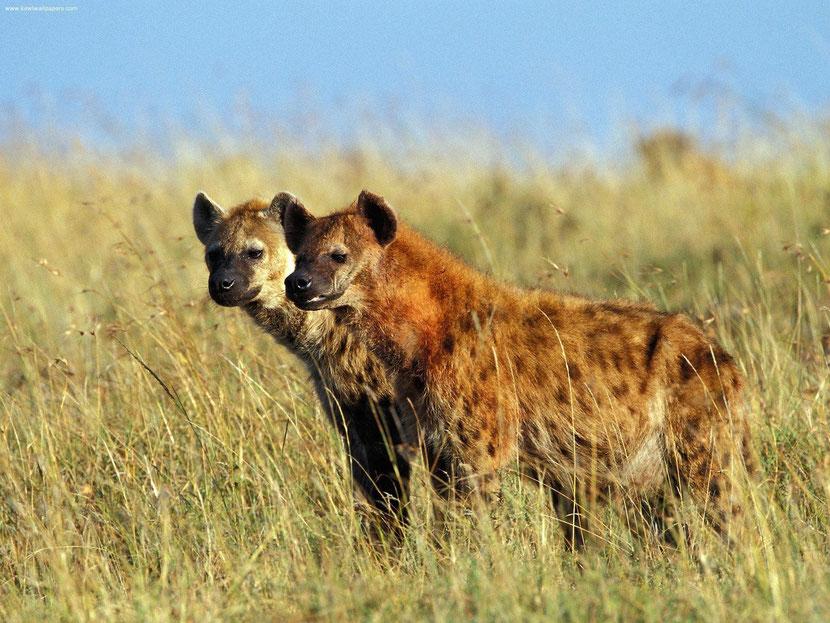 fiche animaux disney hyene tachetees roi lion