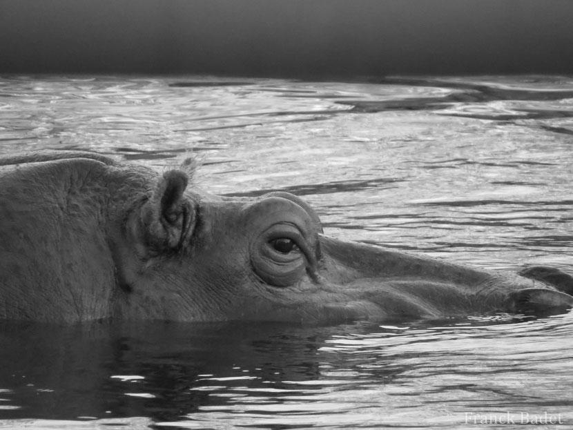 fiche animaux hippopotame